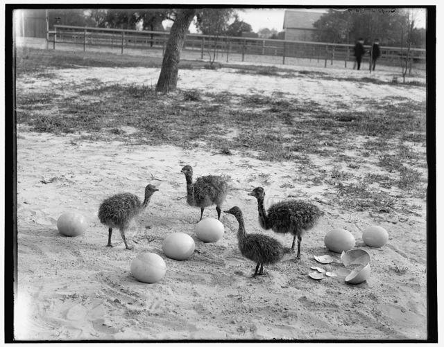 [Ostrich farm, Hot Springs, Ark.]