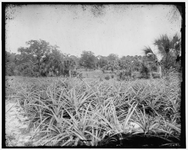 Pineapples at Eden
