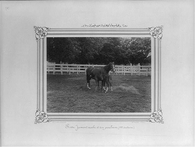 [Ravza, Arabian mare and her foal in the first section of the Imperial Stud Farm] / Constantinople, Abdullah Frères.