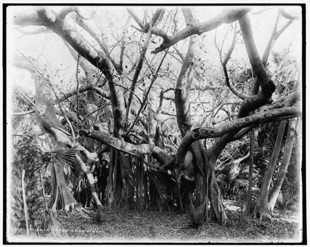 Rubber trees, Lake Worth