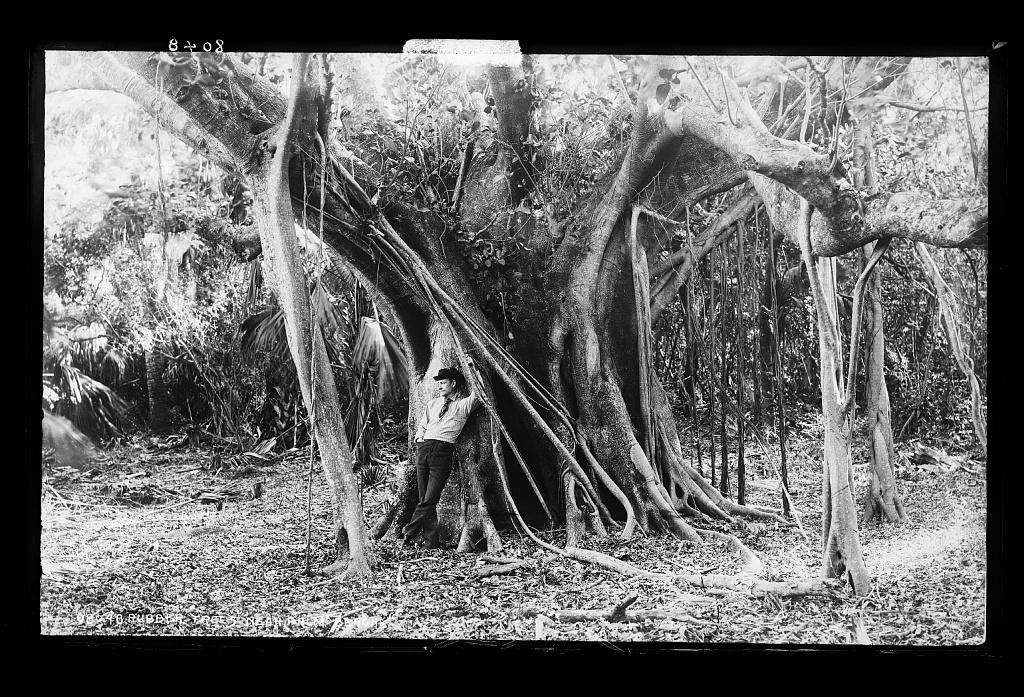 Rubber trees near Palm Beach