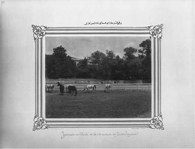 [The mares of the first section of the Imperial Stud Farm] / Constantinople, Abdullah Frères.