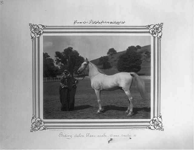 [The white Arabian horse named Bedevi, 13 years old, 1 meter and 55 centimeters] / Constantinople, Abdullah Frères.