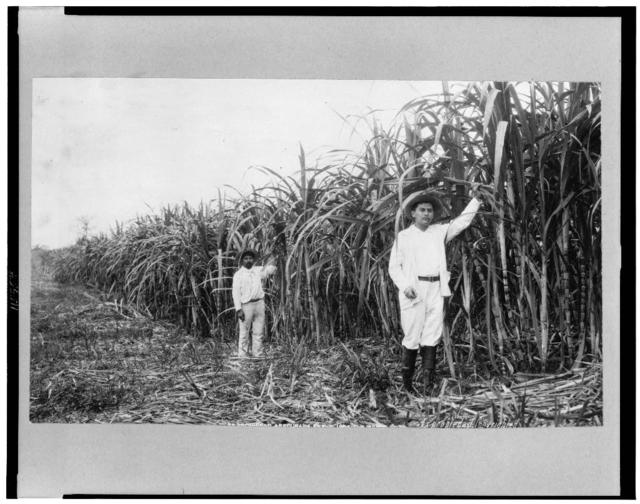 [Two men stand in sugar cane field, Mexico]
