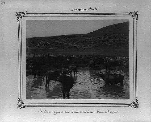 [Water buffalo in the Kaǧithane River]