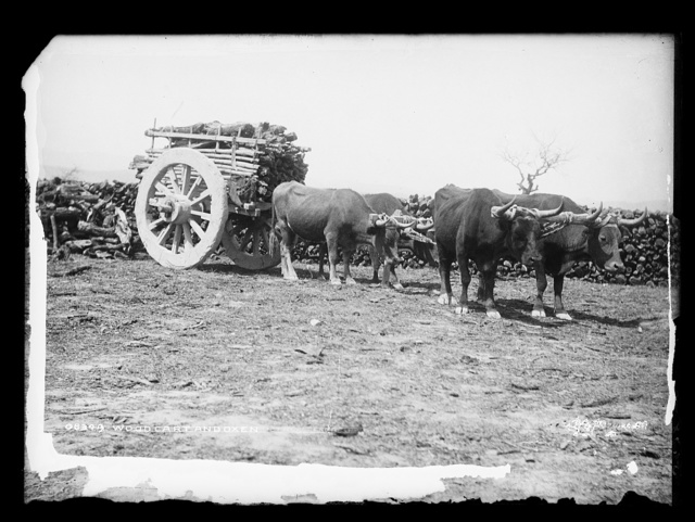 Wood cart and oxen