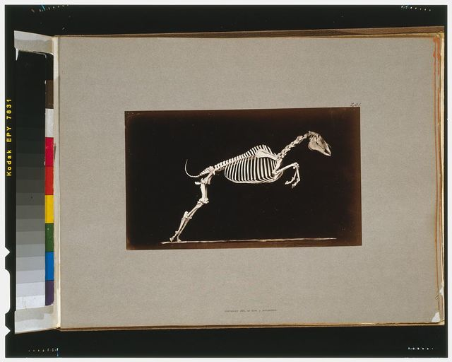 Skeleton of horse. Leaping. Leaving the ground