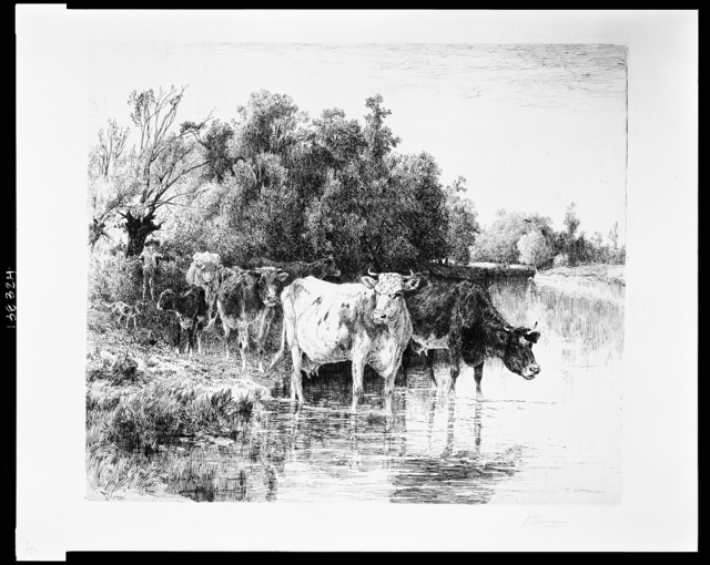 [Cattle fording a river]