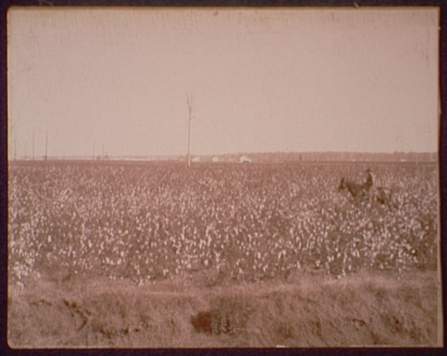 Cotton fields at Dahomey, Miss.