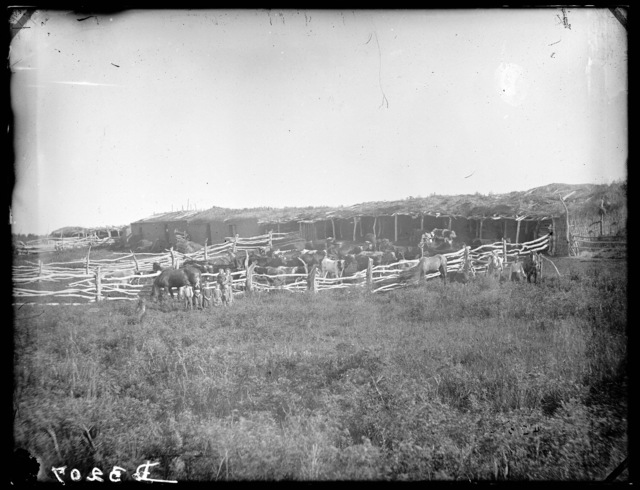 Ben Greible feeding cattle, Old Jefferson, Custer County.