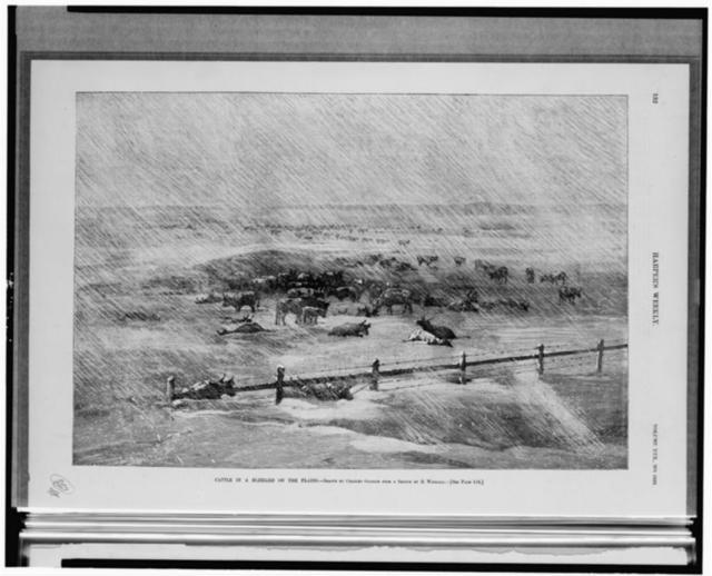Cattle in a blizzard on the plains / drawn by Charles Graham from a sketch H. Worrall.