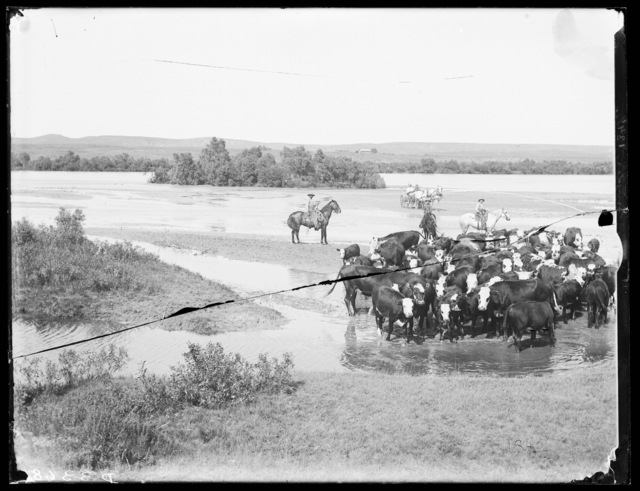 Cattle on the Middle Loup River on the Cal Snyder Ranch, Milburn, Custer County, Nebraska