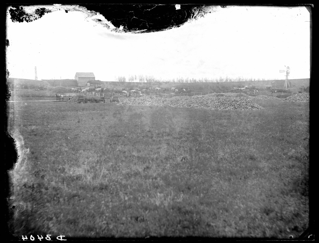 Feeding cattle on a farm near Ansley, Nebraska