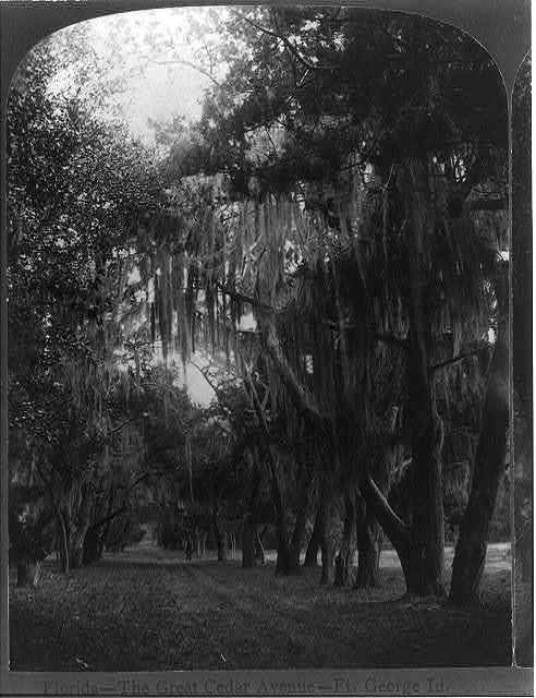 Florida-- the great Cedar Avenue--Ft. George Id. / Geo. Barker, photographer, Niagara Falls, N.Y.