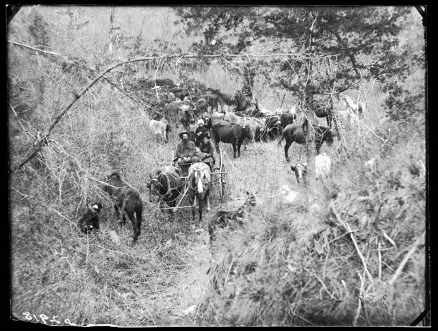 Harvey  Andrews and family herding their livestock in Cedar Canyon on Victoria Creek, near New Helena, Nebraska.