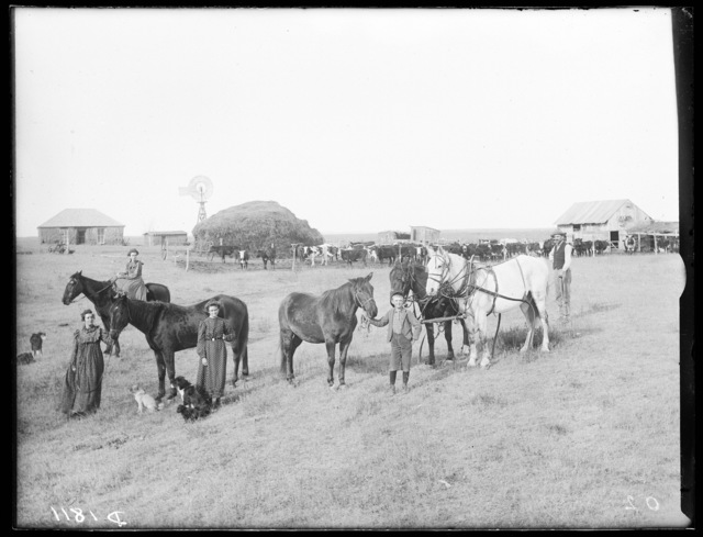 Livestock, east Custer County, Nebraska.