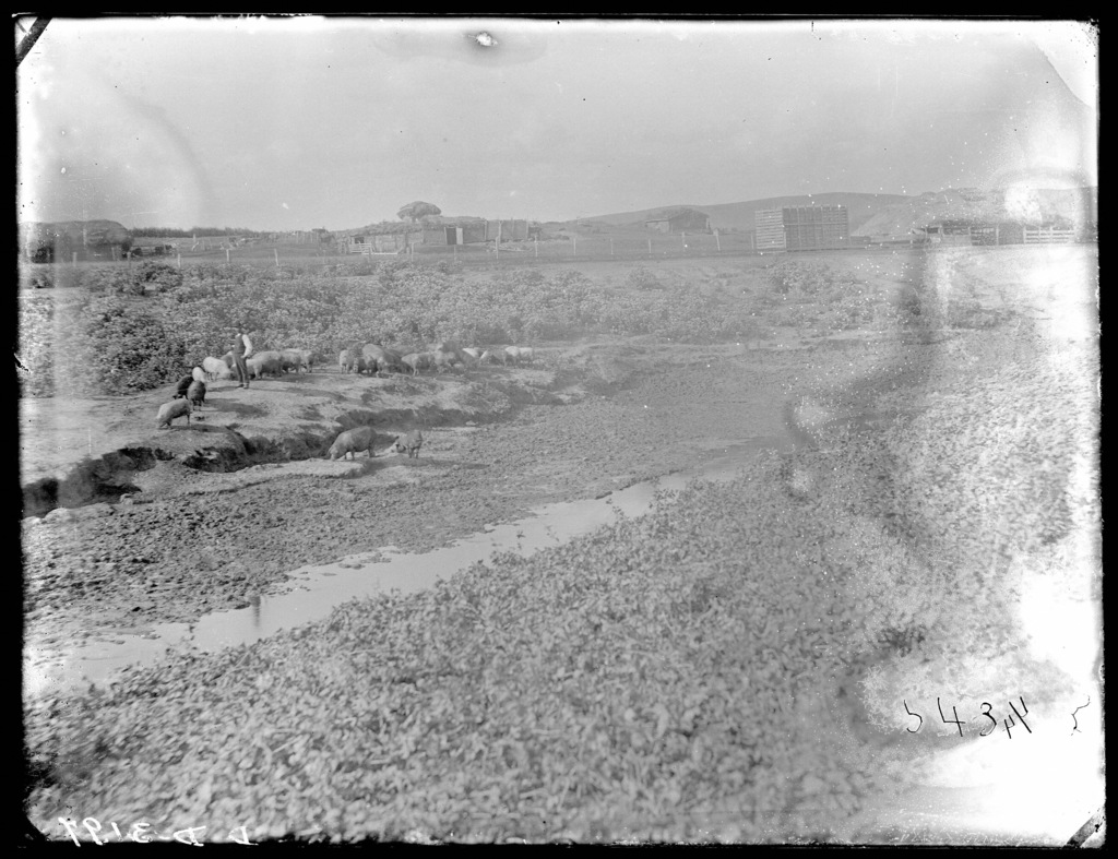 Pigs shown on farm in Custer County, Nebraska, with sod house in background.