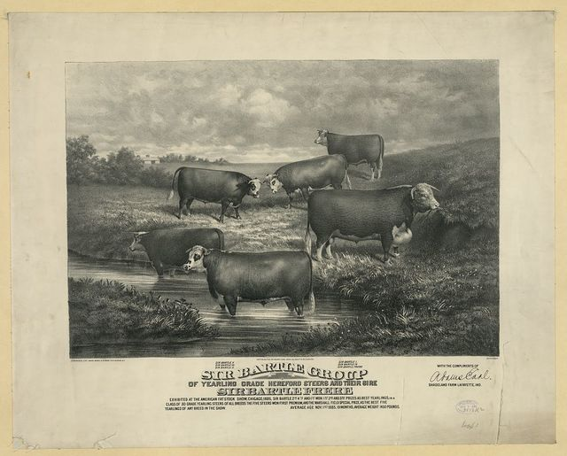 Sir Bartle group of yearling grade hereford steers and their sire
