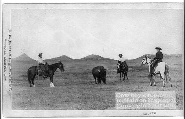 Cowboys, roping a buffalo on the plains