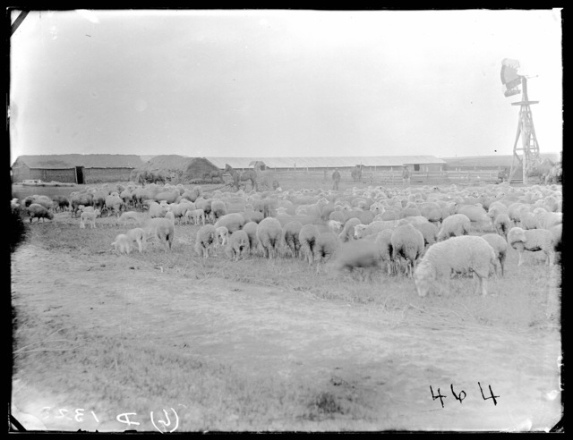 Jules Haumont's sheep on French Table north of Broken Bow, Nebraska.