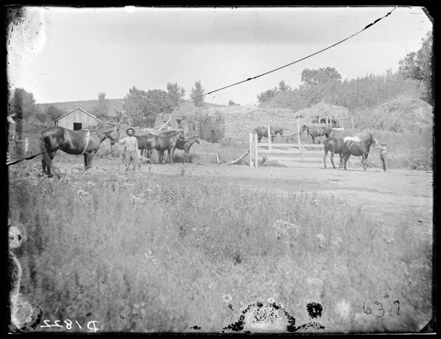 Livestock, Custer County, Nebraska.