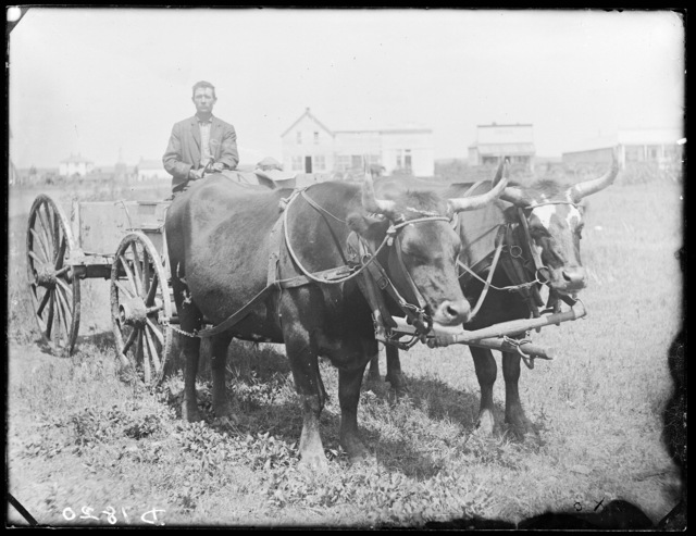 Ox team in front of S.D. Butcher's gallery, Broken Bow, Custer County, Nebraska.