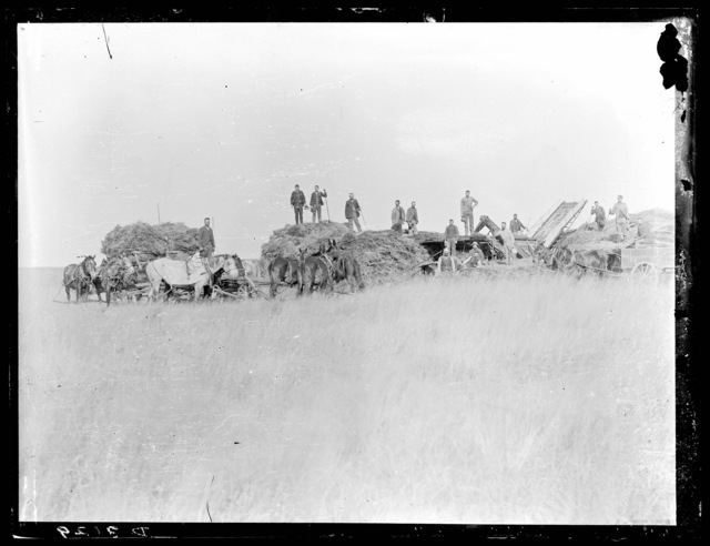 Threshing crew shown using horse power to thresh wheat, Custer County, Nebraska