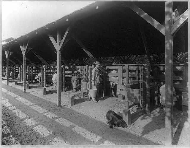 Kern Island Dairy - the milking chute, Kern County, Calif.