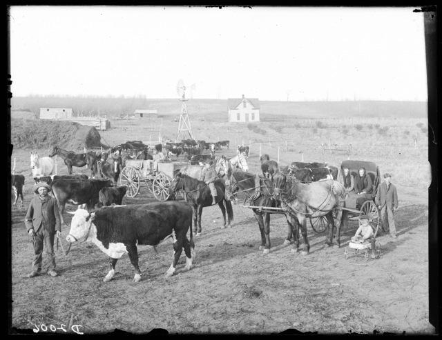 Cattle Scene, Custer County, Nebraska.