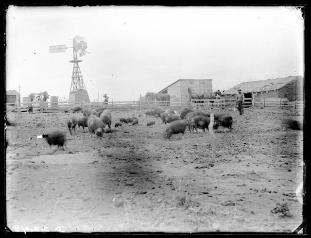 Hog ranch, Custer County, Nebraska.