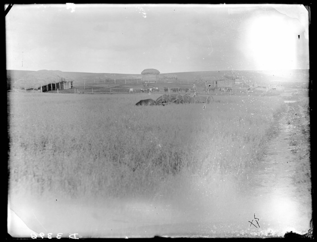 Woman in horse-drawn wagon in a Custer County, Nebraska, wheat field.