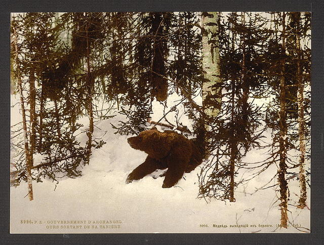 [A bear coming out of his den, Russia]
