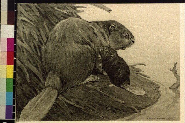 [Beaver with baby beaver]