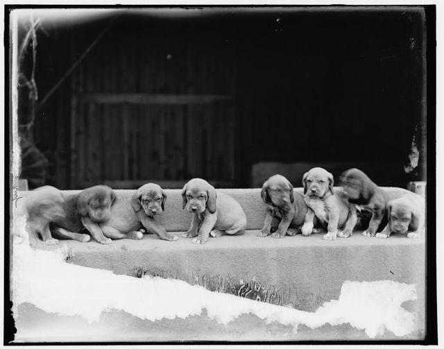 [Bloodhound puppies]