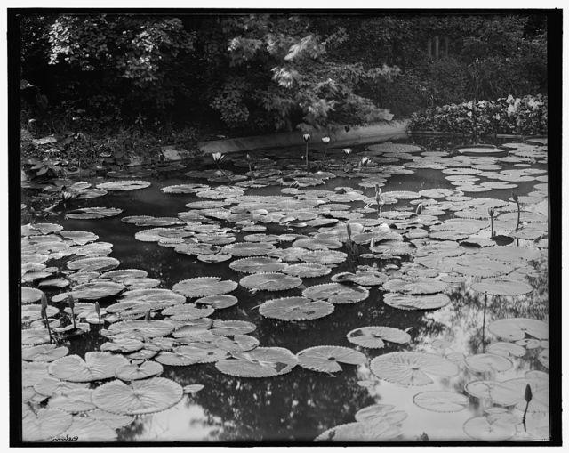 [Chicago, Ill., lily pond, Washington Park]