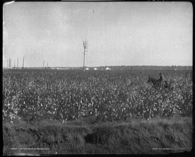 Cotton fields at Dahomey, Mississippi