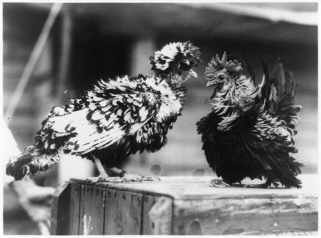 Foul! There's something wrong with this picture of a pair of freak fowl exhibited at Trenton Fair Poultry Show
