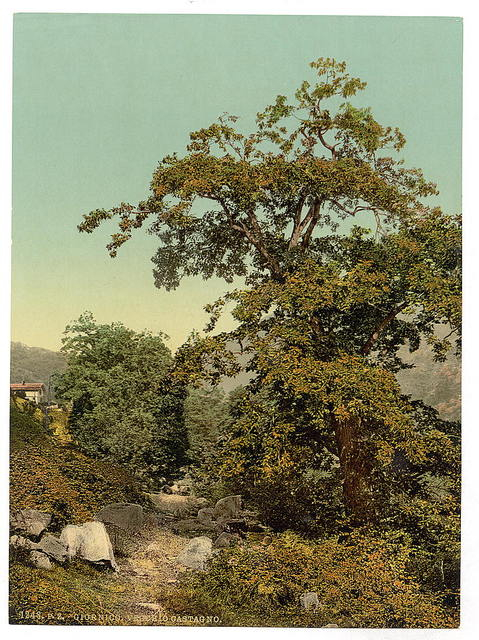 [Giornico, old chestnut tree near the railway, St. Gotthard Railway, Switzerland]