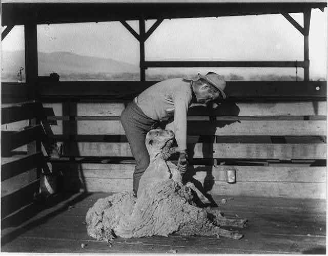 [Man shearing a sheep in stall at headquarters of the San Emigdio Ranch, Kern County, Calif.]