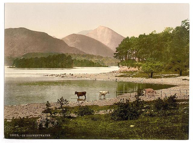 [On Derwentwater, cattle study, Lake District, England]