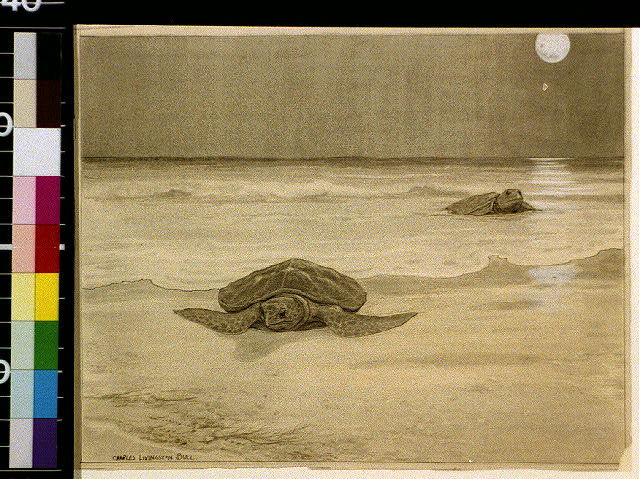 [Sea tortoises coming ashore by night]