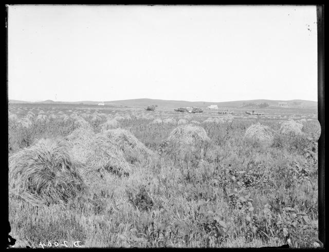 Wheat field near Ansley, Custer County, Nebraska.