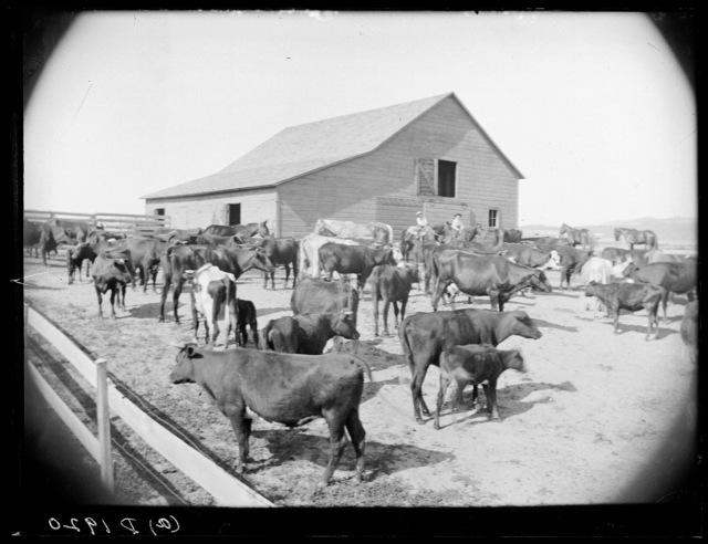 Cattle ranch of C. T. Holliday, near Arnold, Nebraska.