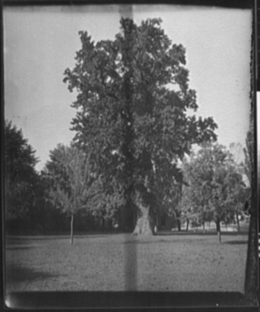 [Lafayette's tree, St. John's College]