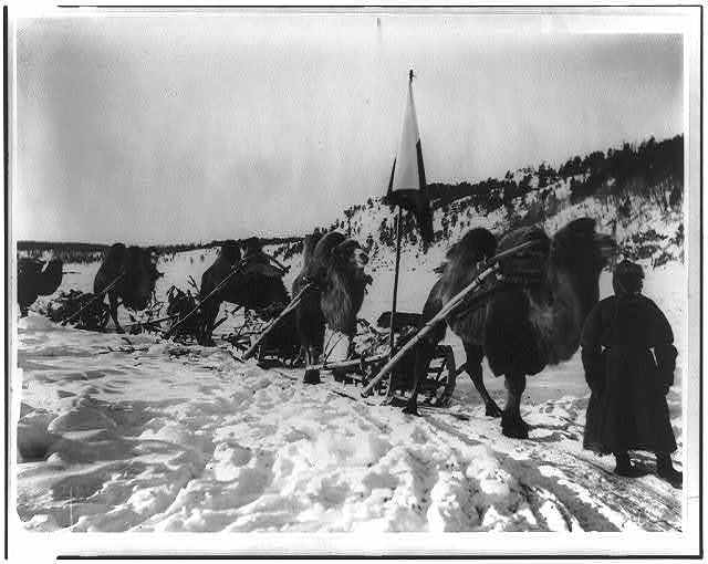 [Bactrian camels of a military caravan on the Amur River]