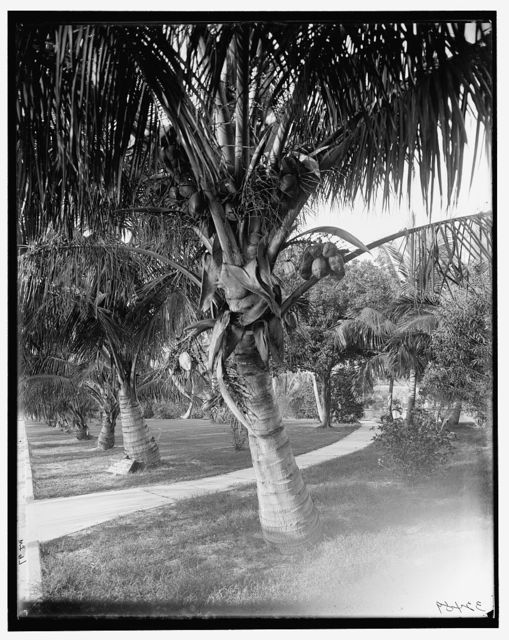 [Cocoanut trees, Palm Beach, Fla.]