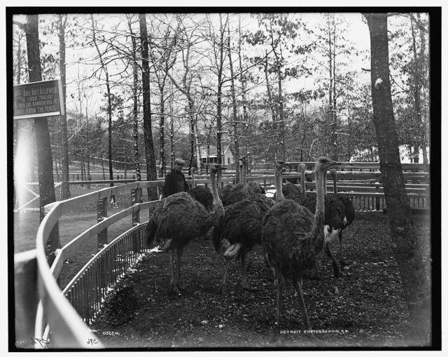[Ostrich farm, Hot Springs, Arkansas]