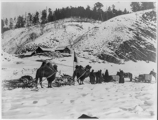 Bactrian camels of a military caravan on the Amur River near view