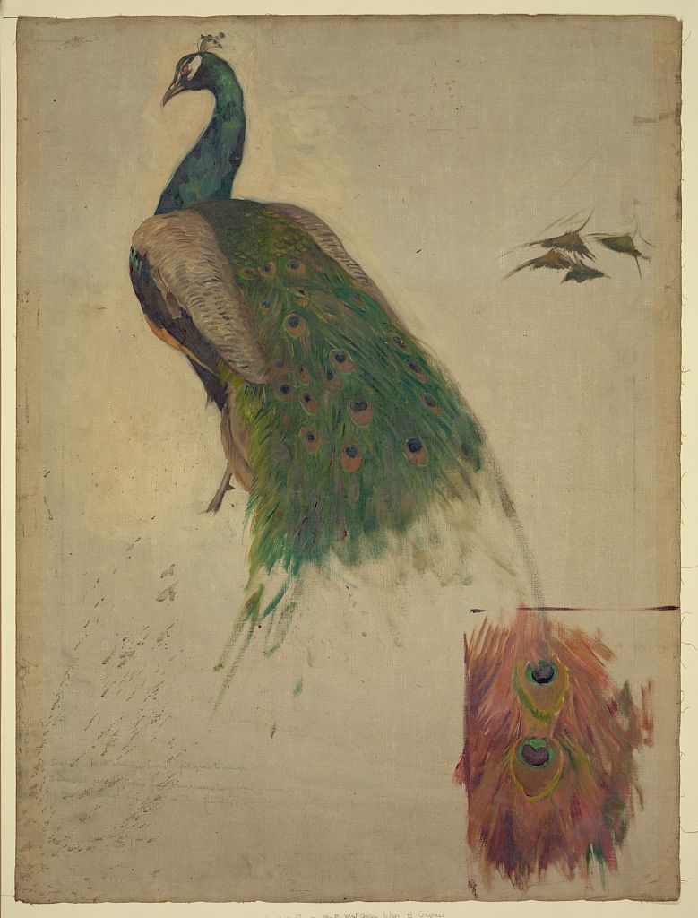 [The sciences, study for peacock in tympanum, southwest gallery, decoration for the Library of Congress]