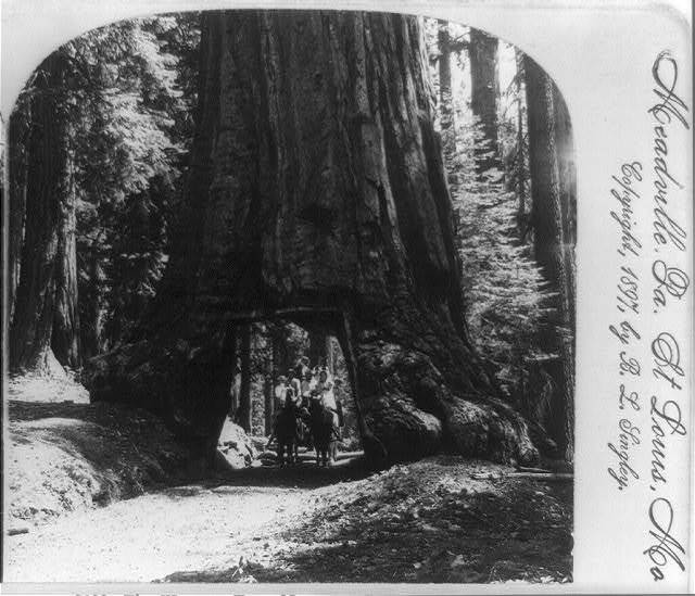 The Wawona tree, Maraposo [i.e. Mariposa] Grove, Cal., U.S.A.